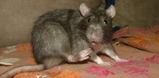 крыса чешется