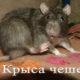 Крыса чешется до крови, почему?