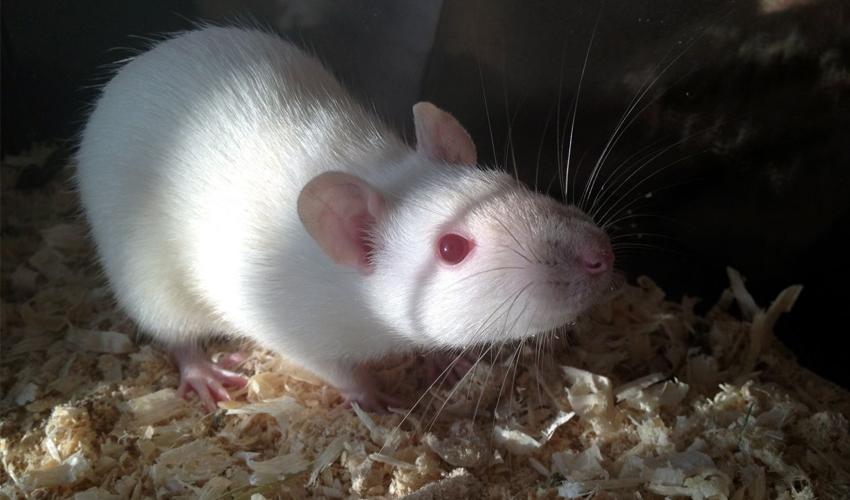 крыса альбинос
