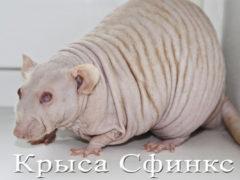 Крыса породы Сфинкс