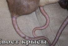 Хвост крысы