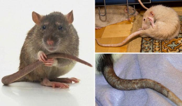 Почему у крысы хвост голый согласен