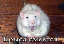 крыса смеется
