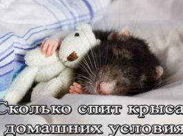 крыса спит