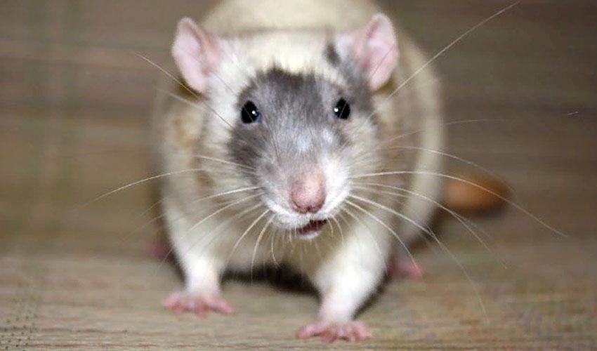крыса стучит