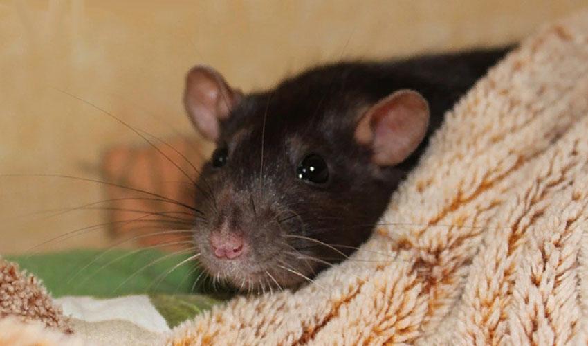 крыса стучит зубами