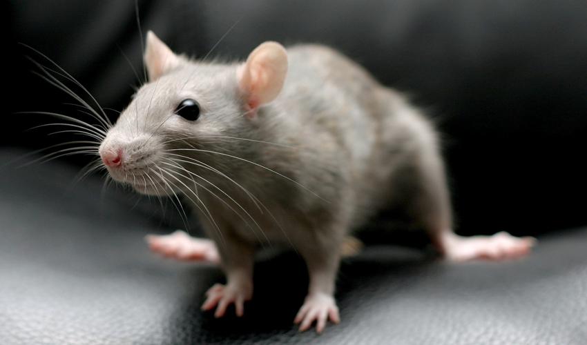 крыса пищит