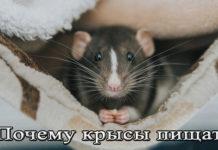 Почему крыса пищит