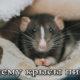 Домашняя крыса пищит, что это значит