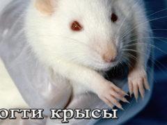 Можно ли и как подстричь когти крысе