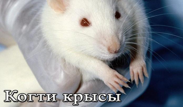 когти крысы