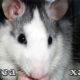 Домашняя крыса хаски, характер, питание, уход