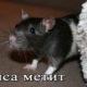 Крыса метит