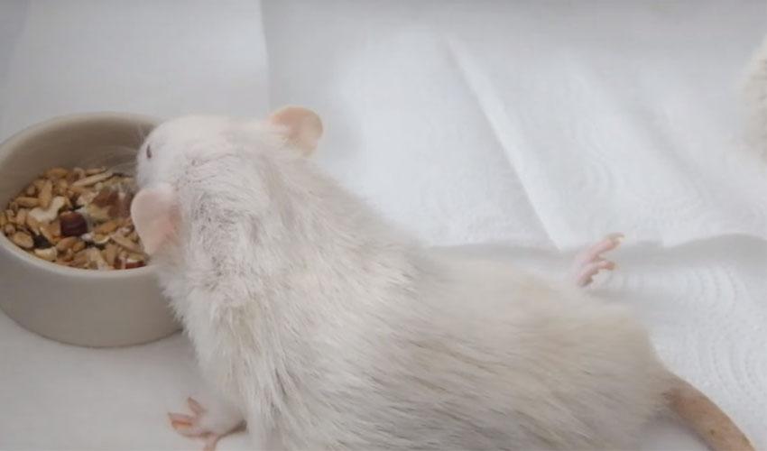 крыса подавилась