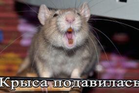 Что делать если крыса подавилась
