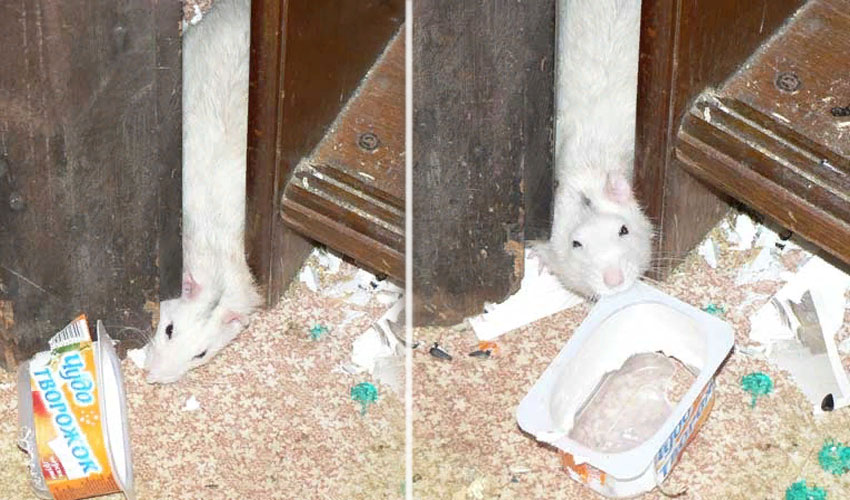 сбежала крыса