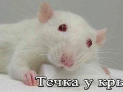 Течка у крыс
