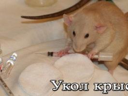 укол крысе