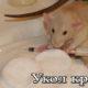 Как делать укол крысе в холку, подкожный, внутремышечный