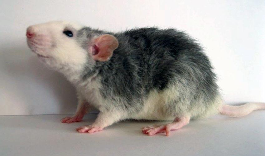 крыса рекс