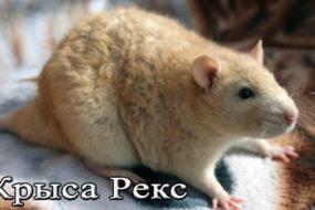 Декоративная крыса Дамбо Рекс