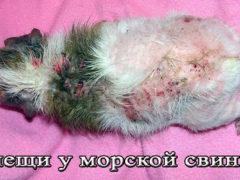 Подкожные и ушной клещи у морской свинки, симптомы и лечение