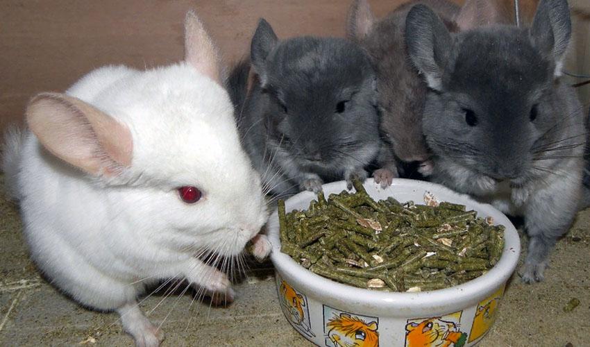 шиншиллы кушают корм