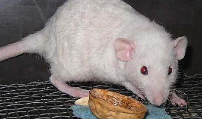 Породы крыс с фото и названиями