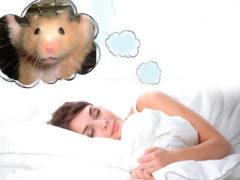 К чему снится хомяк
