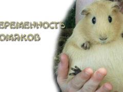 Беременность хомяков