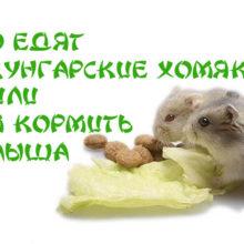 Что едят джунгарские хомяки