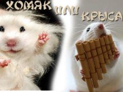 Хомяк или крыса, кому отдать предпочтение