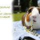 Как правильно кормить морскую свинку свежей травой
