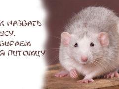 Как назвать крысу, выбираем имя питомцу