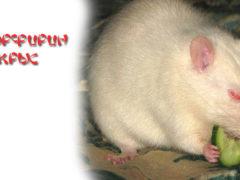 Порфирин у крыс. Опасно ли это?
