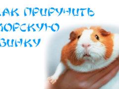 Как приручить морскую свинку