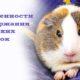 Особенности поведения и содержание морских свинок