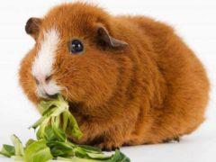 Можно ли морским свинкам укроп, петрушку и прочую зелень