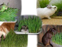 Как прорастить пшеницу в домашних условиях для питомца