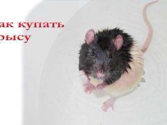 Как купать крысу
