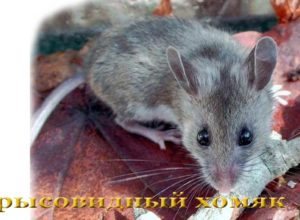 Крысовидный хомяк