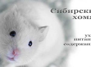 Сибирский хомяк