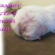 У морской свинки выпадает шерсть