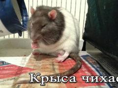 Почему домашняя крыса чихает