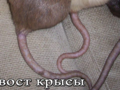 Зачем крысам хвост