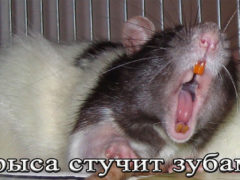 Почему крыса стучит зубами