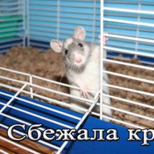 Что делать если домашняя крыса сбежала из клетки