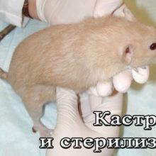 Кастрация и стерилизация крыс