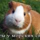 Диагностика, сипмтомы и лечение глистов у морских свинок